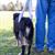 Fatores de risco em cães que sofreram ruptura do ligamento cruzado cranial atendidos no Hovet Universidade Anhembi-Morumbi