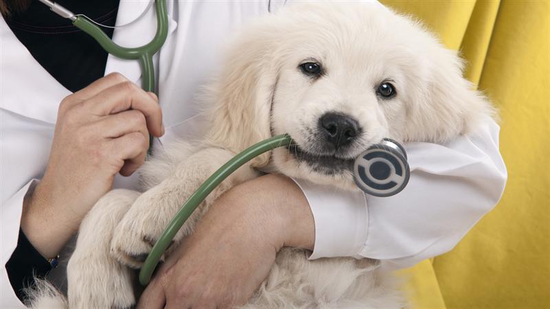 Castração de cães antes ou depois da puberdade? Eis a questão!