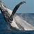Conheça a baleia jubarte e saiba como a espécie foi salva da extinção
