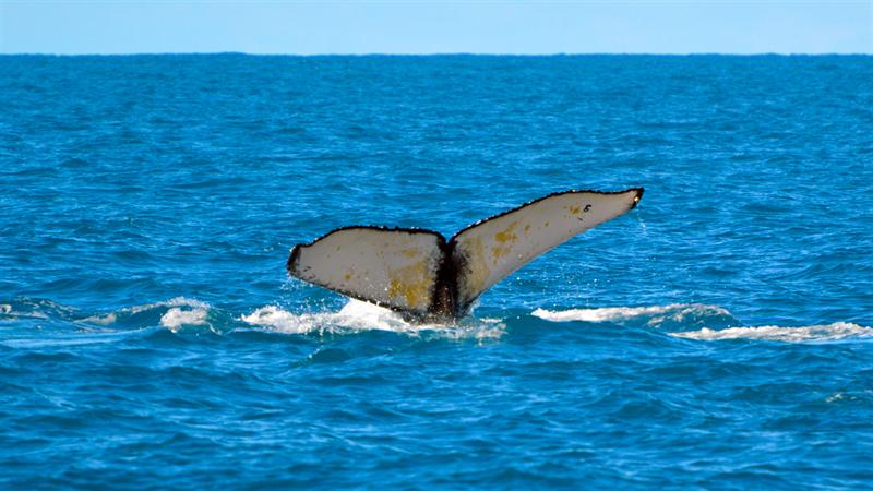 A baleia cantora