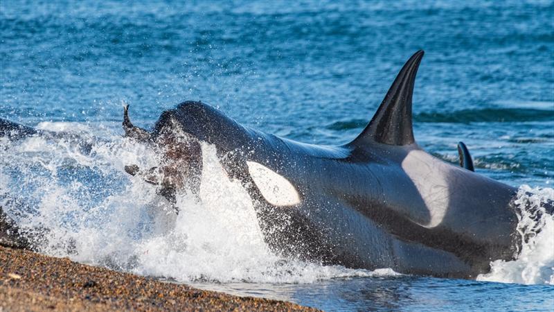 Momento em que a orca agarra um lobo marinho.Foto: @JorgeCaze