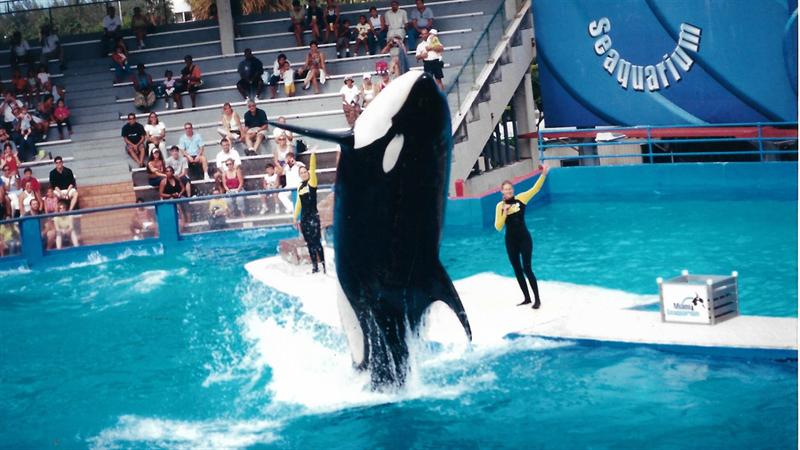 Desde 1980 não convive com outras orcas.Foto: Milton Marcondes