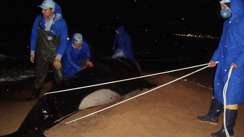 Tentando reposicionar a orca encalhada em Anchieta - ES Foto Juliede Neves/Instituto Baleia Jubarte