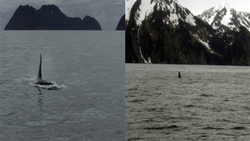 Uma orca se aproximando do barco (esquerda) e seguindo  em direção à praia (direita). Foto:Milton Marcondes