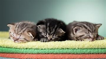 Saiba como é determinada a coloração dos gatos